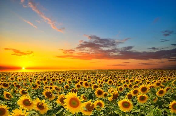bigstock-Sunflowers-51914095
