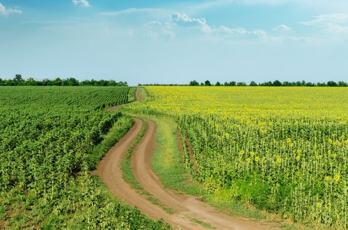 winding rural road in green fields with sunflowers and blue cloudy sky